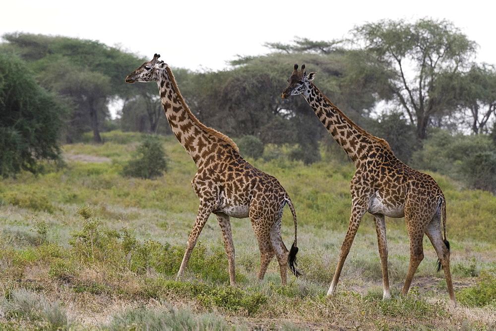 Masai giraffe (Giraffa camelopardalis tippelskirchi), Ndutu, Ngorongoro Conservation Area, Serengeti, Tanzania, East Africa, Africa - 741-5652