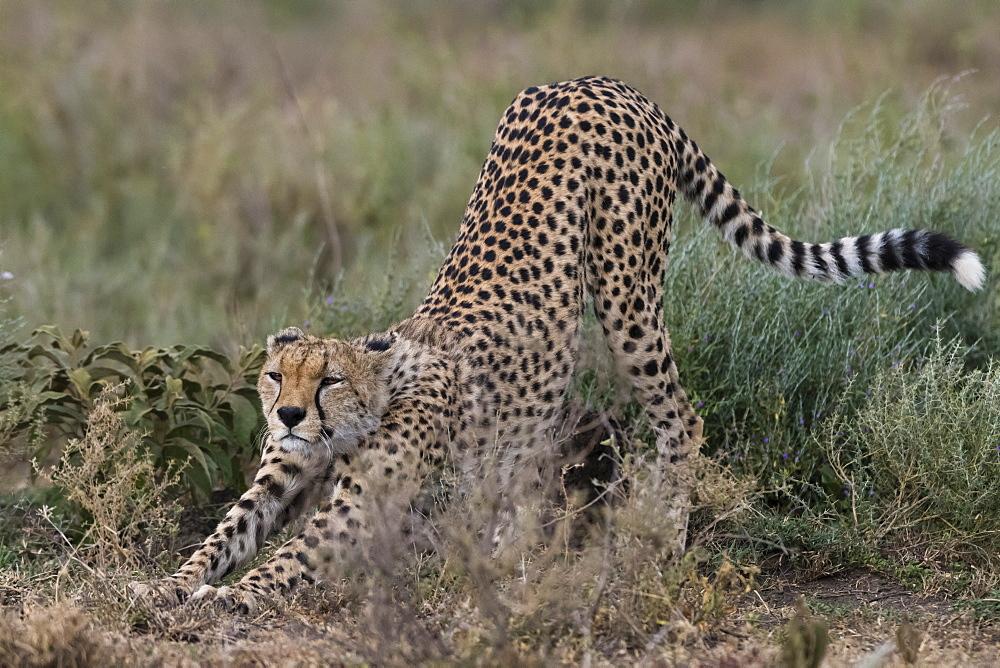 Cheetah (Acinonyx jubatus), Ndutu, Ngorongoro Conservation Area, Serengeti, Tanzania. - 741-5653