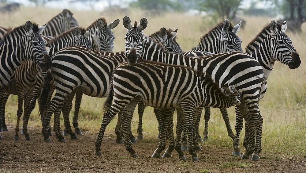 Plains zebras (Equus quagga) under the rain, Seronera, Serengeti National Park. - 741-5654