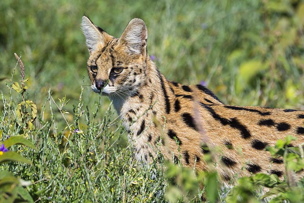 Serval (Leptailurus serval), Ndutu, Ngorongoro Conservation Area, Serengeti, Tanzania, East Africa, Africa - 741-5657
