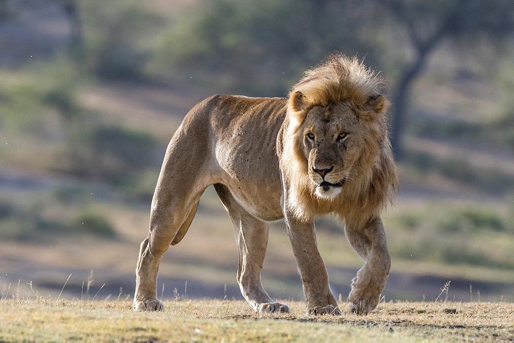A male lion (Panthera leo), Ndutu, Ngorongoro Conservation Area, Serengeti, Tanzania. - 741-5660