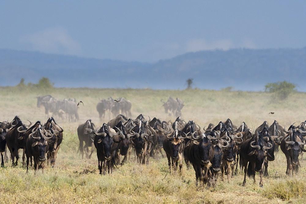 A herd of blue wildebeest (gnu) (Connochaetes taurinus), Ndutu, Ngorongoro Conservation Area, Serengeti, Tanzania, East Africa, Africa - 741-5661