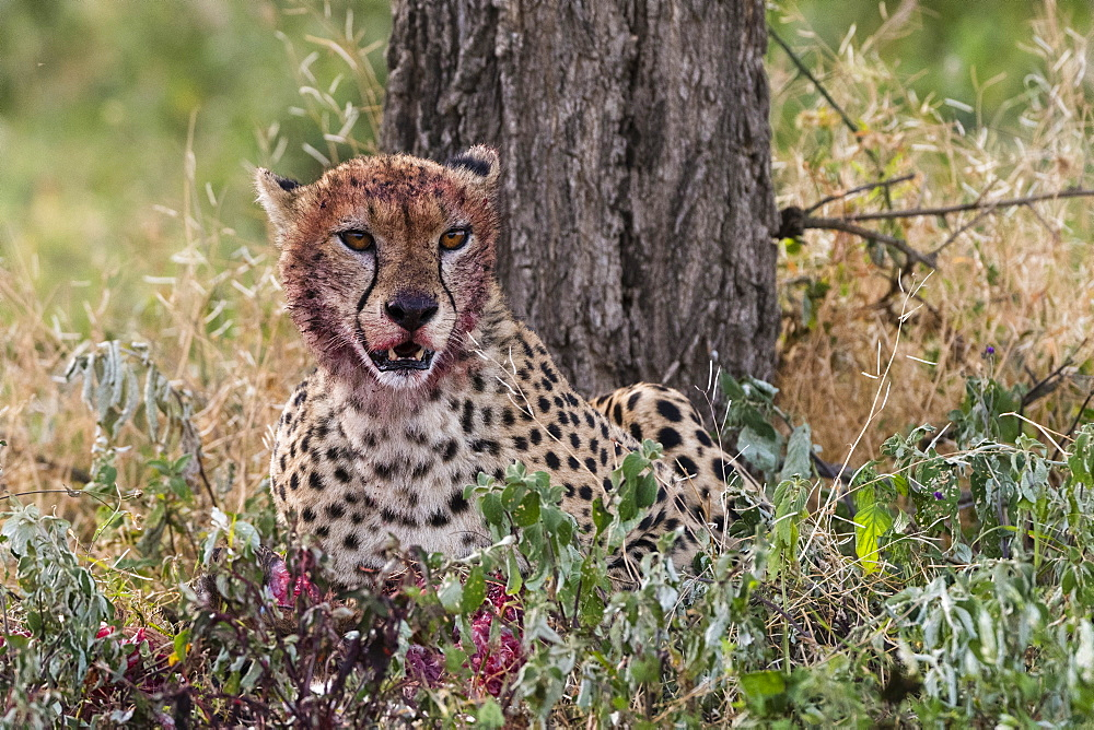 Cheetah (Acinonyx jubatus) with a bloody face after feeding, Ndutu, Ngorongoro Conservation Area, Serengeti, Tanzania, East Africa, Africa - 741-5665