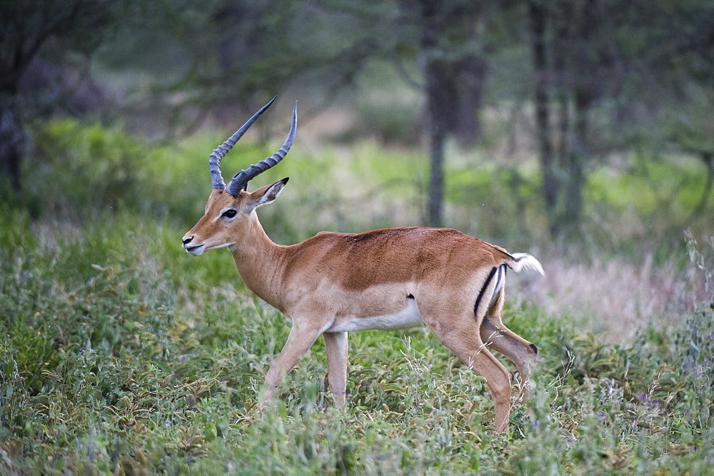 Male impala (Aepyceros melampus), Ndutu, Ngorongoro Conservation Area, Serengeti, Tanzania, East Africa, Africa - 741-5666
