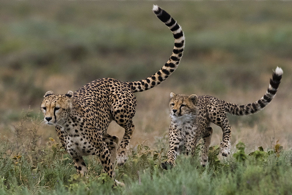 A female cheetah (Acinonyx jubatus) and its cub sparring, Ndutu, Ngorongoro Conservation Area, Serengeti, Tanzania, East Africa, Africa - 741-5669
