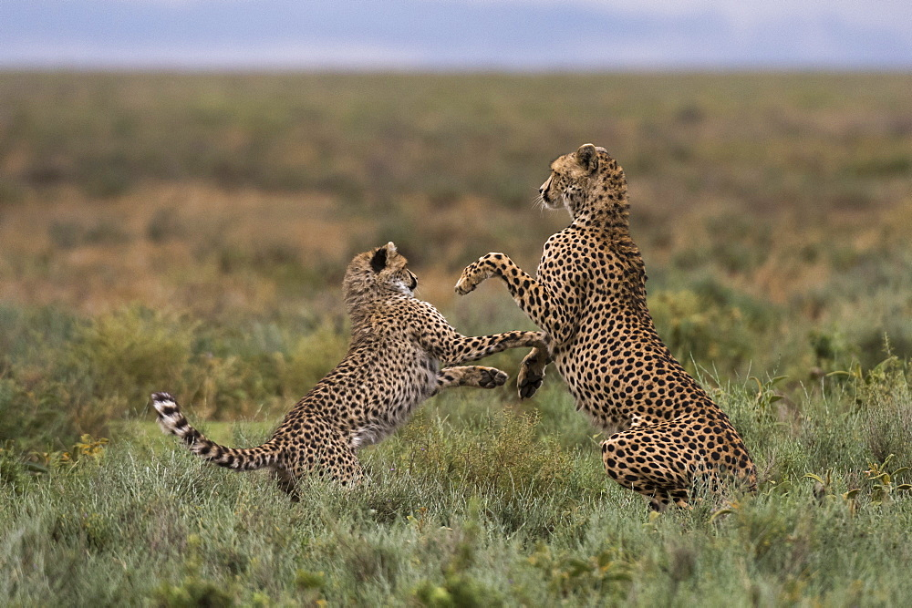 A female cheetah (Acinonyx jubatus) and its cub sparring, Ndutu, Ngorongoro Conservation Area, Serengeti, Tanzania, East Africa, Africa - 741-5671