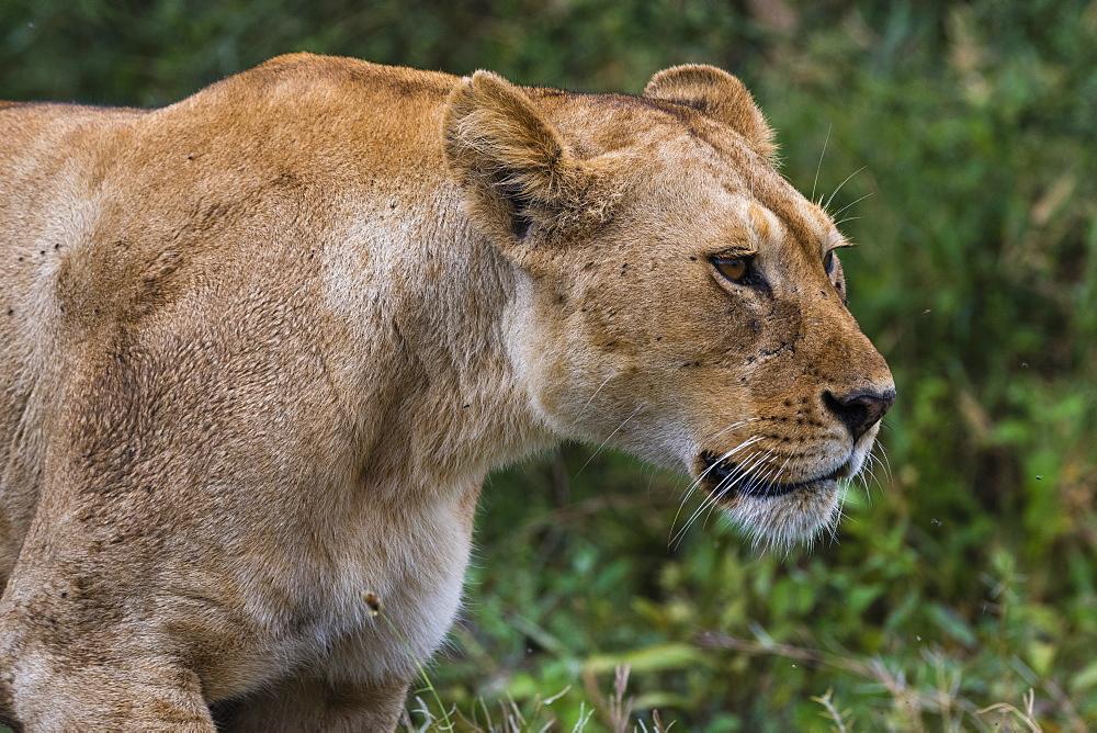 Portrait of a lioness (Panthera leo), Ndutu, Ngorongoro Conservation Area, Serengeti, Tanzania. - 741-5673
