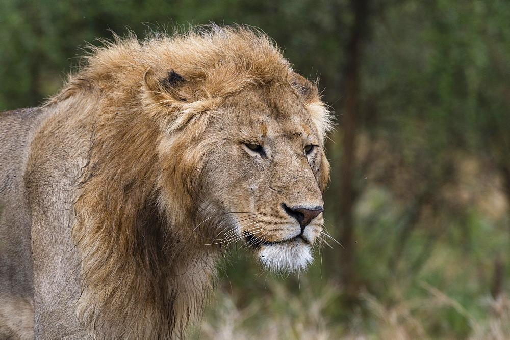 Lion (Panthera leo), Ndutu, Ngorongoro Conservation Area, Serengeti, Tanzania, East Africa, Africa - 741-5674