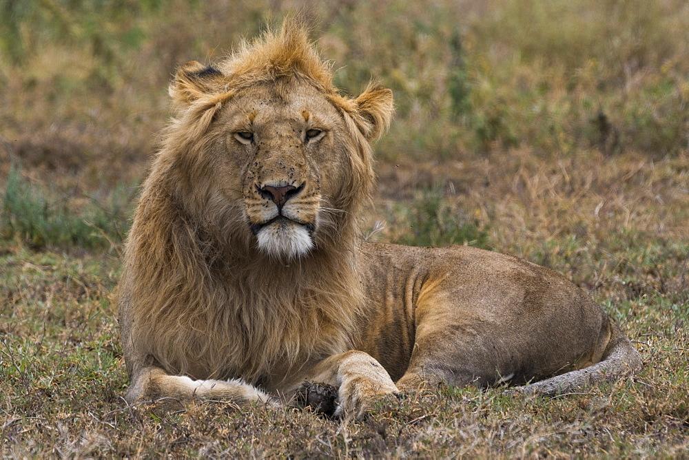 Lion (Panthera leo), Ndutu, Ngorongoro Conservation Area, Serengeti, Tanzania, East Africa, Africa - 741-5677