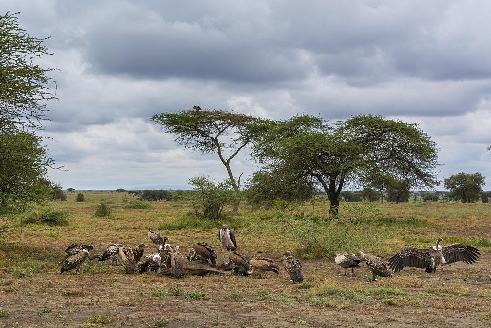 White-backed vultures (Gyps africanus) and marabou stork (Leptoptilos crumeniferus), Ndutu, Serengeti. - 741-5678