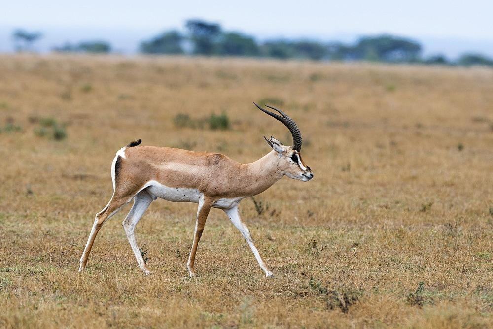 A Grant's gazelle (Nanger granti) walking, Tanzania, East Africa, Africa - 741-5680