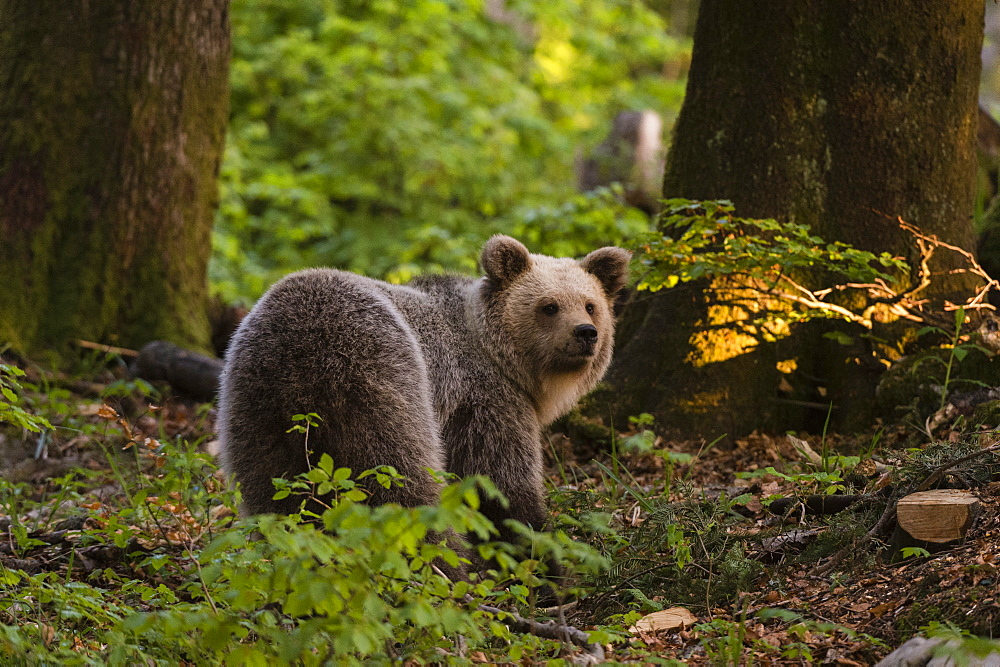 European brown bear (Ursus arctos), Notranjska forest, Slovenia, Europe - 741-5684