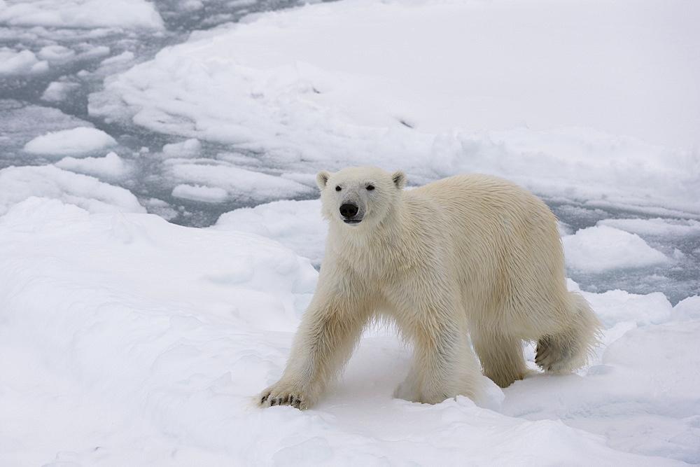 Polar bear (Ursus maritimus), Polar Ice Cap, 81 degrees, north of Spitsbergen, Arctic, Norway, Europe