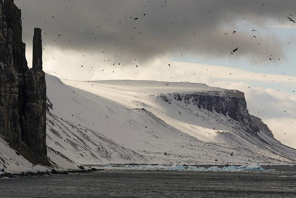 Bruennich's Guillemots (Uria lomvia), Alkefjellet, Spitsbergen, Svalbard Islands, Arctic, Norway, Europe