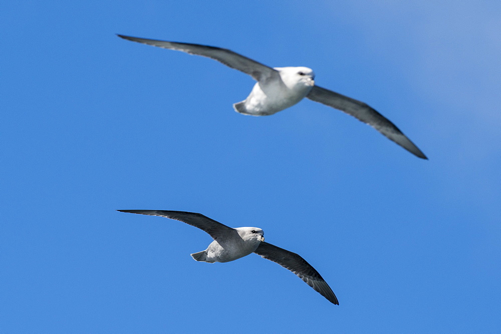 Two northern fulmars, Fulmarus glaciali, in flight.