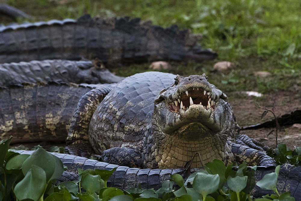 Jacare caimans (Caiman yacare) resting, Mato Grosso, Brazil, South America