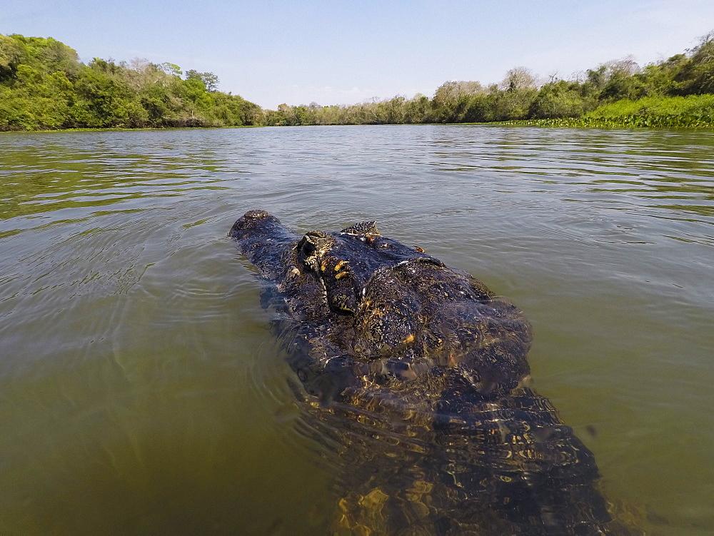 A jacare caiman (Caiman yacare) patrols the Rio Claro, Mato Grosso, Brazil, South America