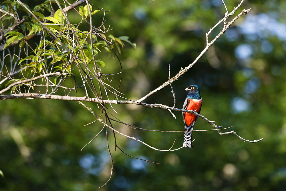 A blue-crowned trogon (Trogon curucui) on a tree, Mato Grosso, Brazil, South America