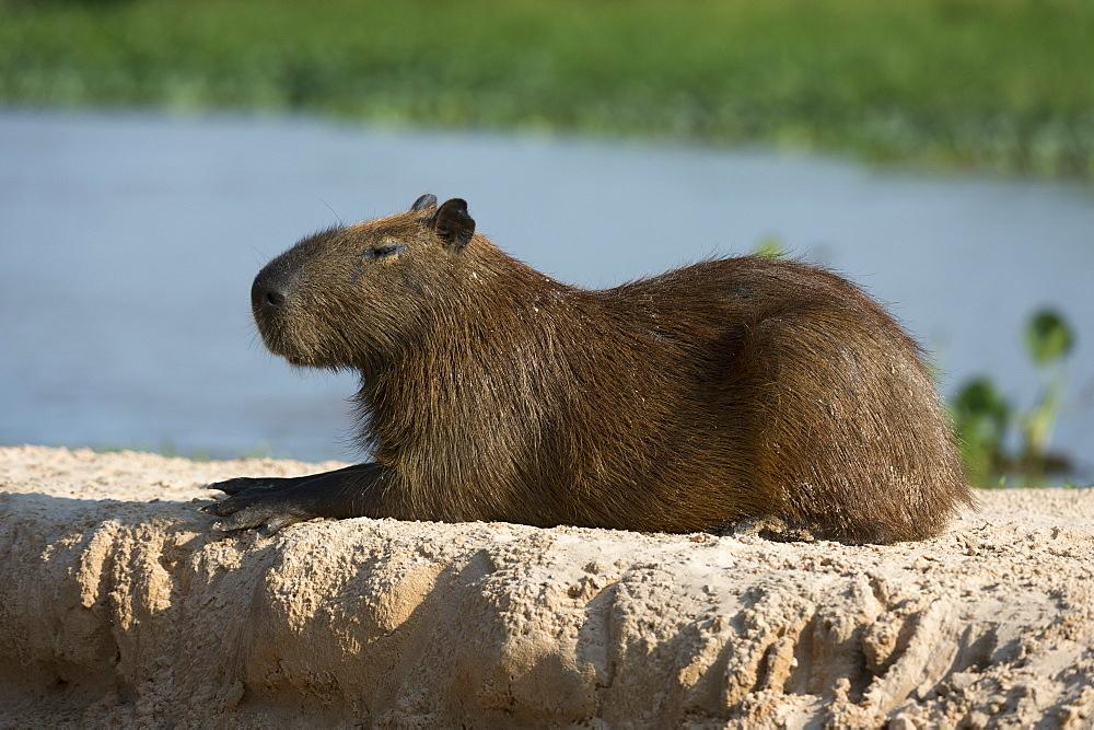 A capybara (Hydrochaerus hydrochaeris) resting, Mato Grosso, Brazil, South America - 741-5731
