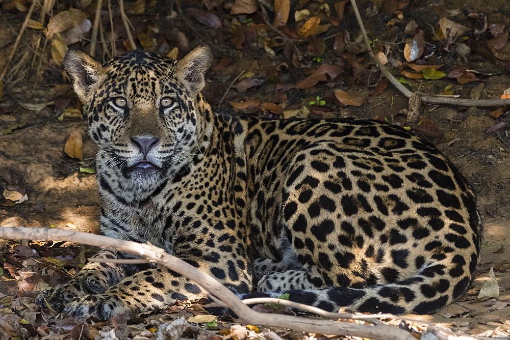 Jaguar (Panthera onca), Pantanal, Mato Grosso, Brazil, South America - 741-5732