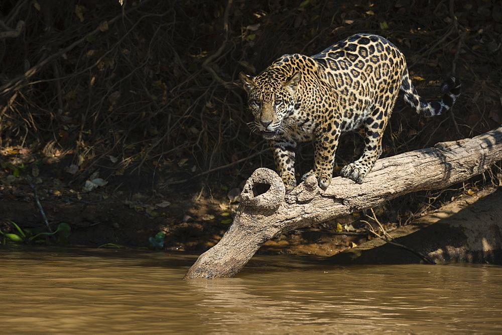 A jaguar (Panthera onca) walking on a fallen tree, Mato Grosso, Brazil, South America