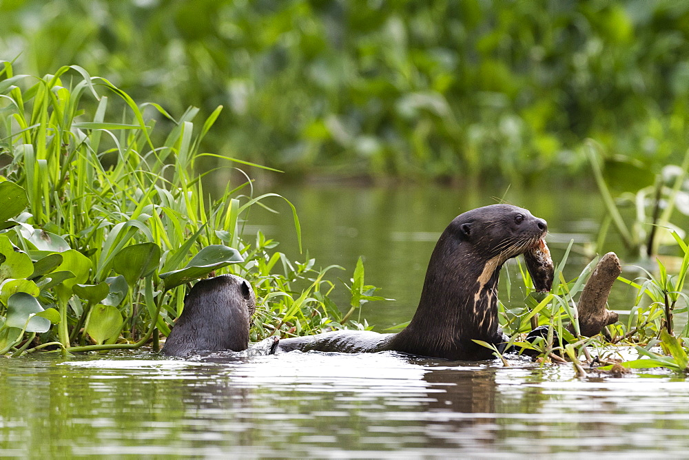 Giant otter (Pteronura brasiliensis), Pantanal, Mato Grosso, Brazil, South America