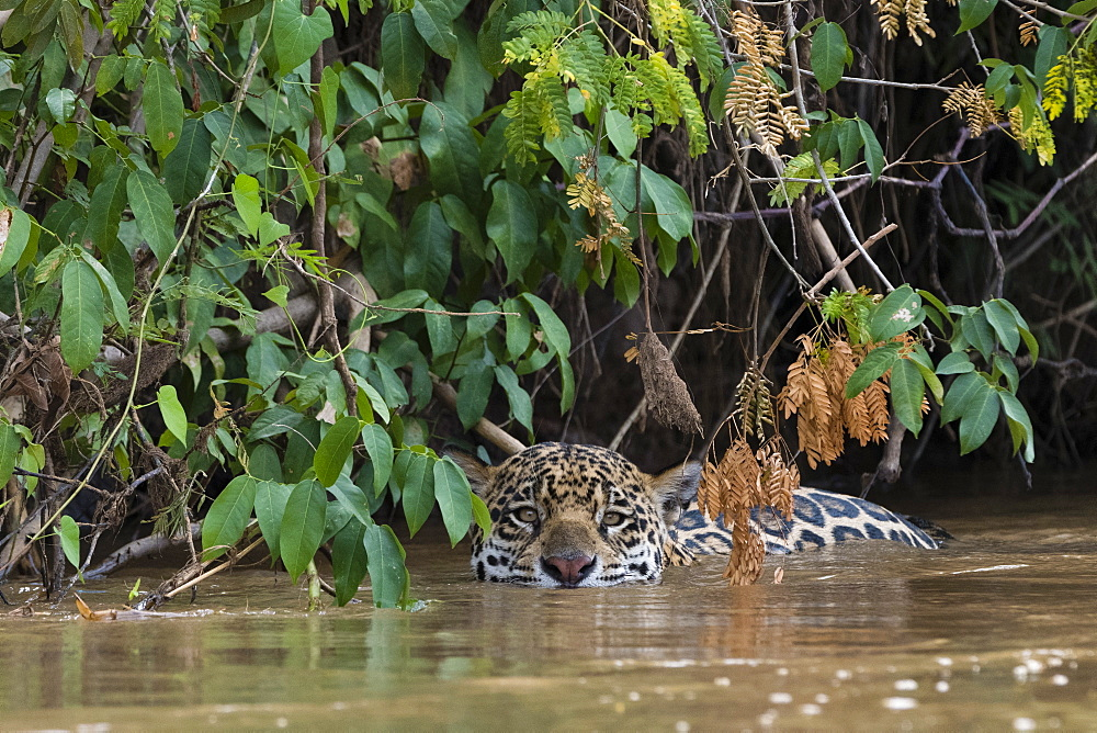 A jaguar (Panthera onca) hiding along the river bank, Mato Grosso, Brazil, South America