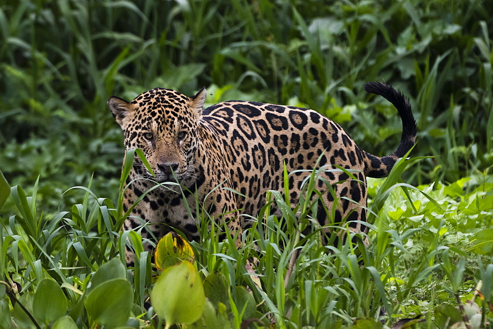 A jaguar, Panthera onca, walking in the tall grass.