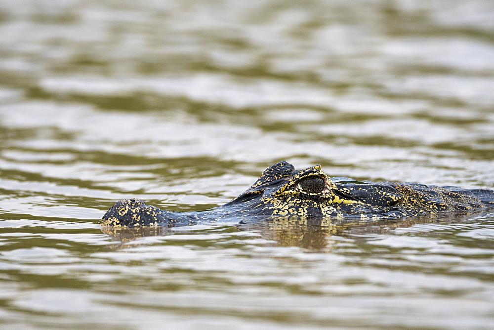 Jacare Caiman (Caiman yacare), Pantanal, Mato Grosso, Brazil, South America - 741-5744