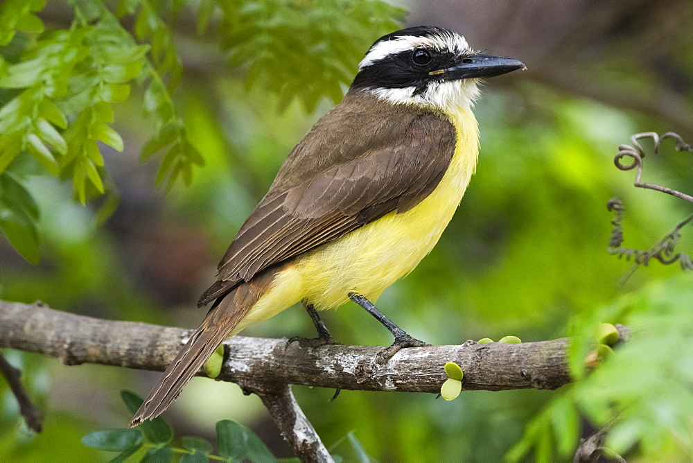 A lesser kiskadee (Pitangus lictor) perching on a branch, Mato Grosso, Brazil, South America