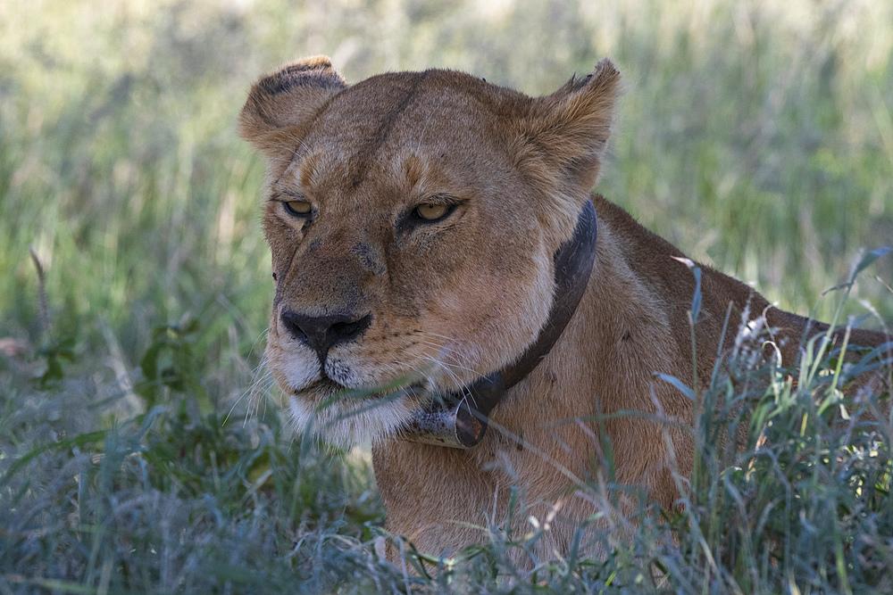 Lioness (Panthera leo), Seronera, Serengeti National Park, UNESCO World Heritage Site, Tanzania, East Africa, Africa
