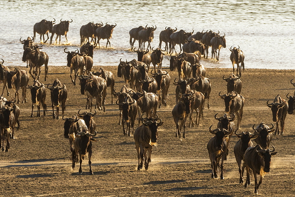 Migrating wildebeest (Chonnochaetes tautinus) crossing Lake Ndutu, Serengeti, UNESCO World Heritage Site, Tanzania, East Africa, Africa