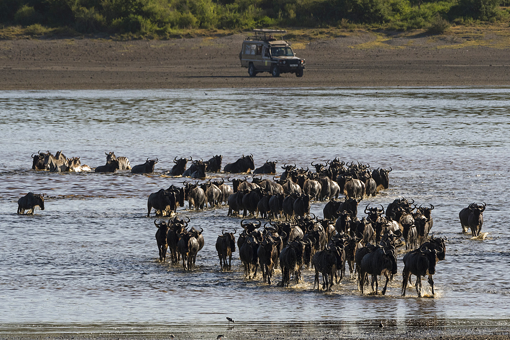 Tourist watching wildebeest (Chonnochaetes tautinus), crossing Lake Ndutu, Serengeti, UNESCO World Heritage Site, Tanzania, East Africa, Africa