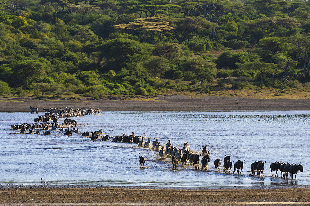 Migrating plains zebras (Equus quagga) and wildebeests (Connochaetes taurinus), crossing Lake Ndutu, Serengeti, UNESCO World Heritage Site, Tanzania, East Africa, Africa