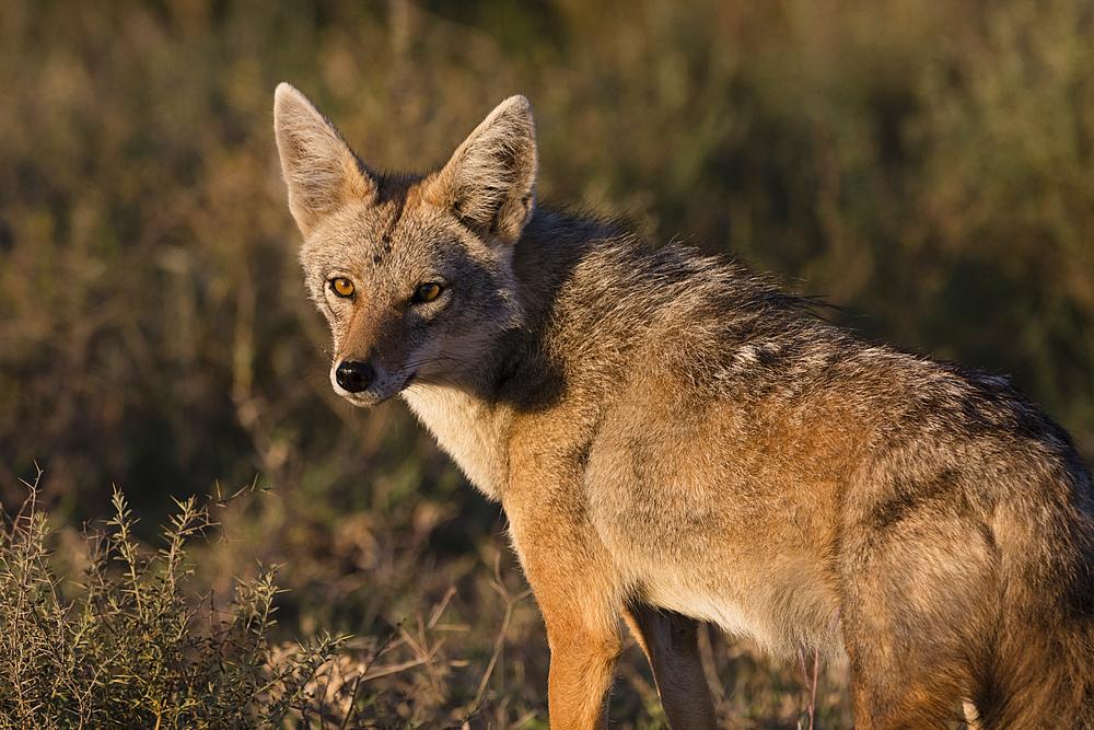 Golden jackal (Canis aureus), Ndutu, Ngorongoro Conservation Area, UNESCO World Heritage Site, Tanzania, East Africa, Africa