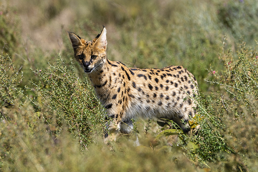 Serval (Leptailurus serval), Ndutu, Ngorongoro Conservation Area, UNESCO World Heritage Site, Tanzania, East Africa, Africa