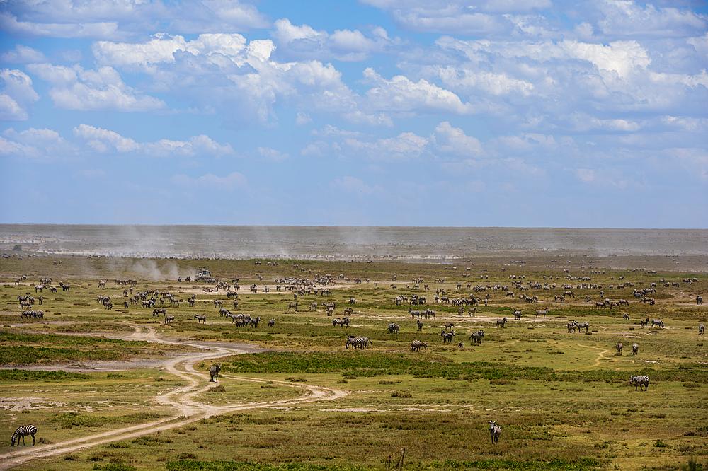 Plains zebras (Equus quagga), Ndutu, Serengeti, UNESCO World Heritage Site, Tanzania, East Africa, Africa - 741-5769