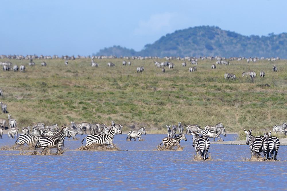 Plains zebras (Equus quagga), Ndutu, Serengeti, UNESCO World Heritage Site, Tanzania, East Africa, Africa - 741-5771