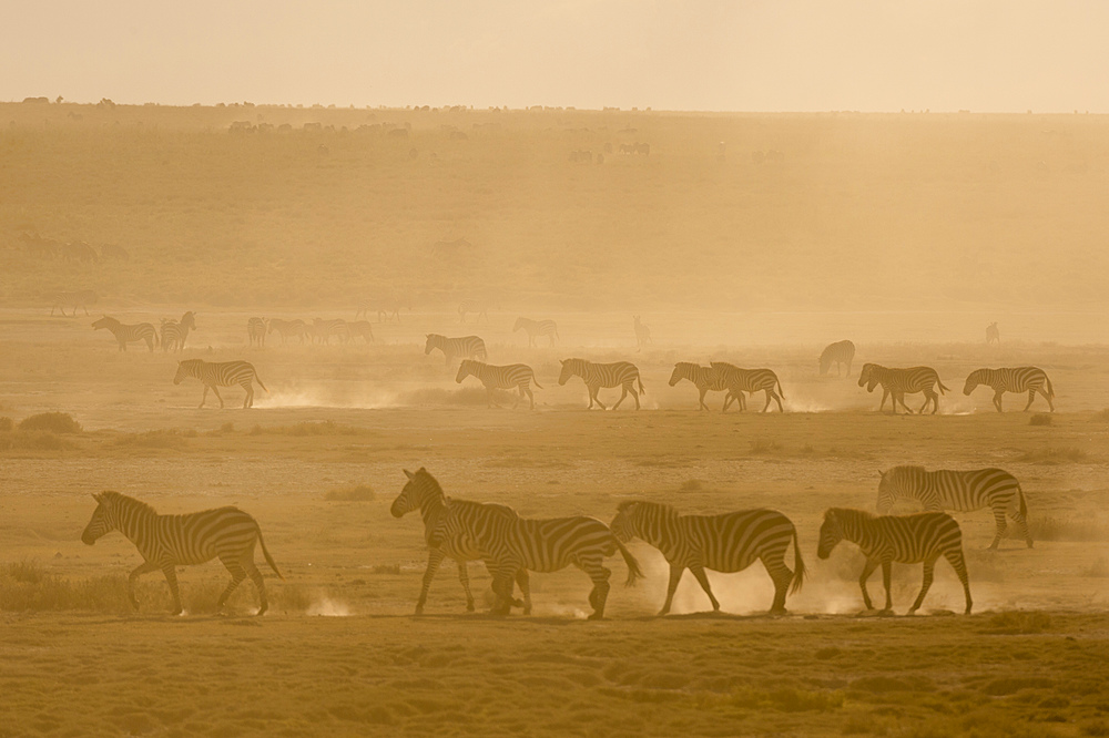 Plains zebras (Equus quagga) walking in dust at sunset in the Hidden Valley, Tanzania, East Africa, Africa