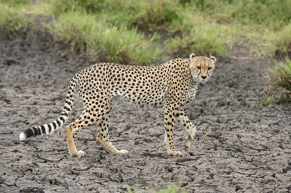 Cheetah (Acynonix jubatus), Seronera, Serengeti National Park, UNESCO World Heritage Site, Tanzania, East Africa, Africa - 741-5777