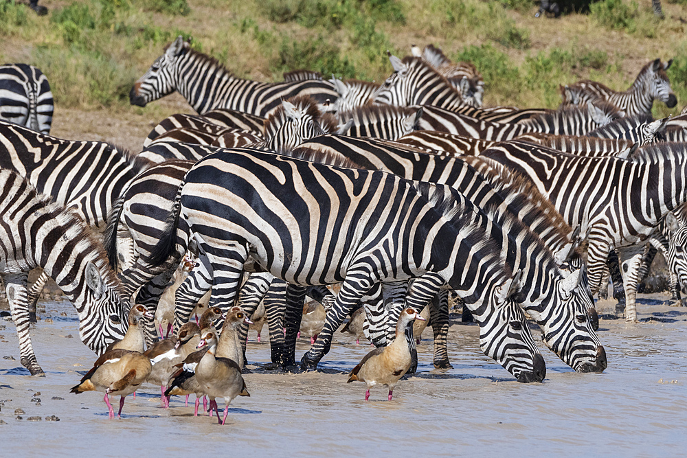 Plains zebras (Equus quagga), Ndutu, Serengeti, UNESCO World Heritage Site, Tanzania, East Africa, Africa - 741-5780