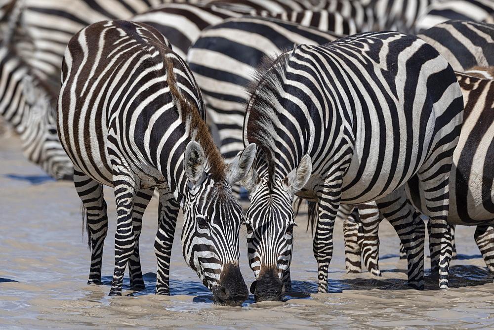 Plains zebras (Equus quagga), Ndutu, Serengeti, UNESCO World Heritage Site, Tanzania, East Africa, Africa - 741-5782