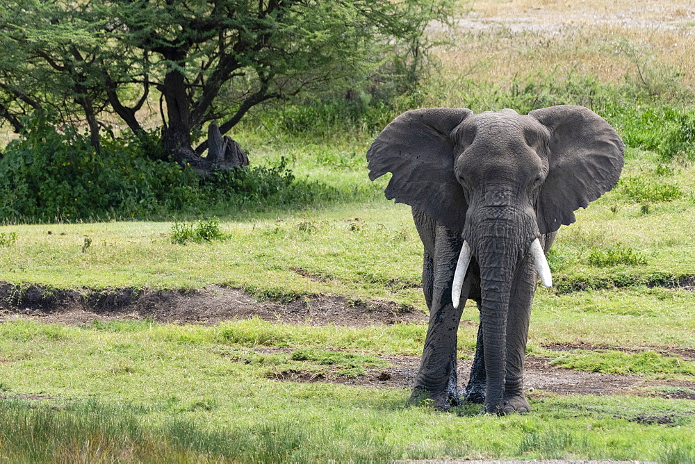 African elephant (Loxodonta africana), Seronera, Serengeti National Park, UNESCO World Heritage Site, Tanzania, East Africa, Africa - 741-5783