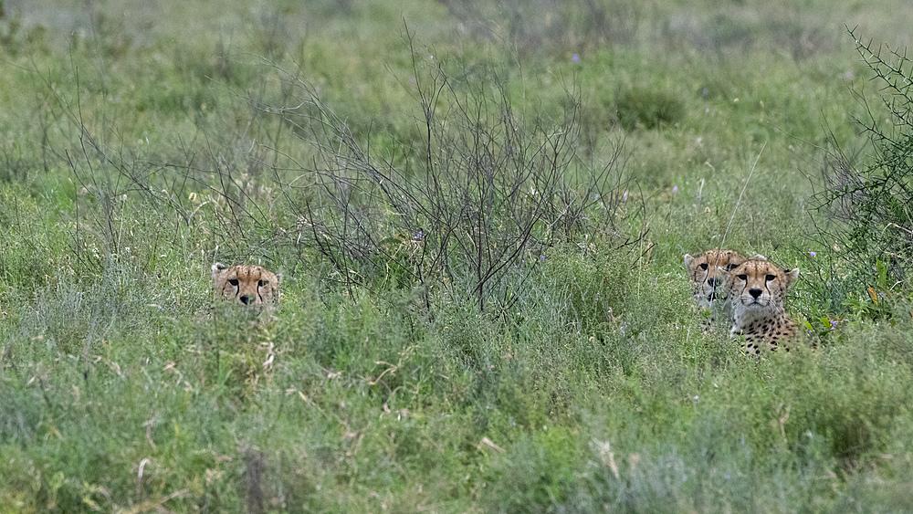 Cheetah (Acynonix jubatus), Seronera, Serengeti National Park, UNESCO World Heritage Site, Tanzania, East Africa, Africa - 741-5796