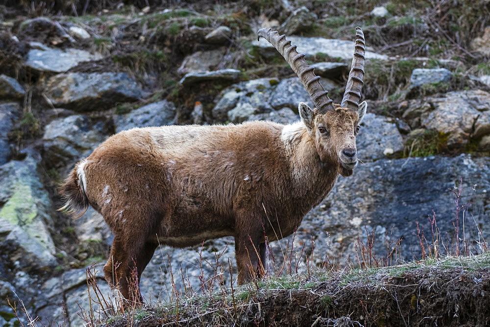 Alpine ibex (capra ibex), Valsavarenche, Gran Paradiso National Park, Aosta Valley, Italy, Europe - 741-5818