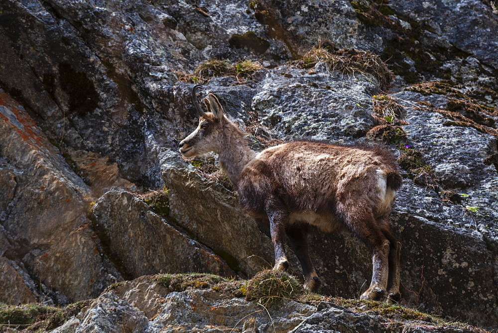 Alpine Chamois (Rupicapra rupicapra), Valsavarenche, Gran Paradiso National Park, Aosta Valley, Italy, Europe