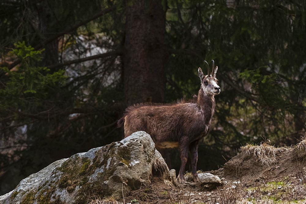 Alpine Chamois (Rupicapra rupicapra), Valsavarenche, Gran Paradiso National Park, Aosta Valley, Italy, Europe - 741-5823