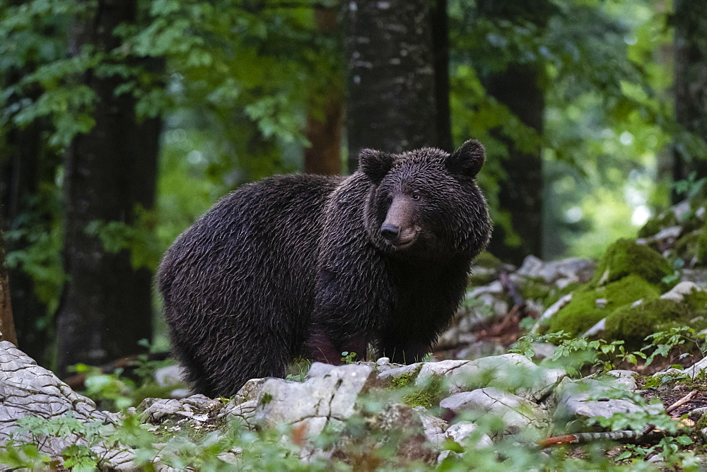 European brown bear (Ursus arctos), Notranjska forest, Slovenia, Europe