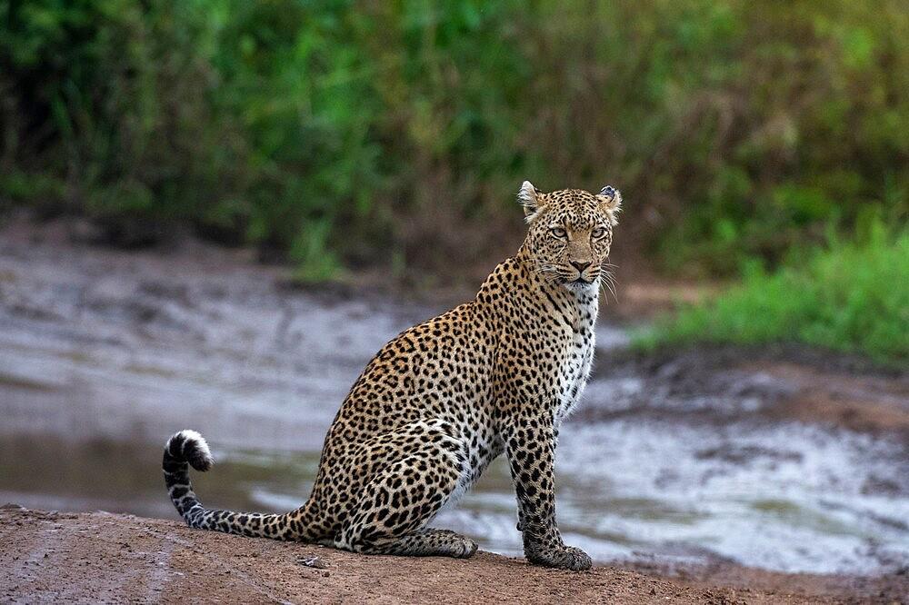 Leopard (Panthera pardus), Seronera, Serengeti National Park, Tanzania, East Africa, Africa - 741-5900