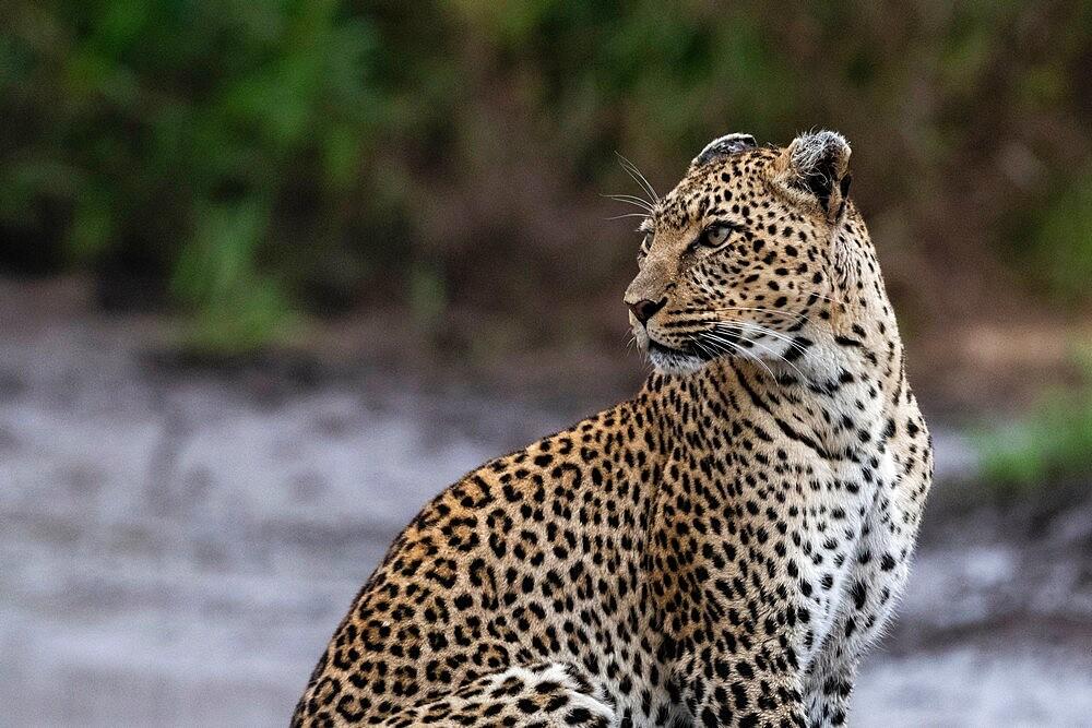 Leopard (Panthera pardus), Seronera, Serengeti National Park, Tanzania, East Africa, Africa - 741-5901